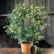 Fragrant Plants For Pots - asian jasmine u0027mandanianum u0027 trachelospermum asiaticum tropical