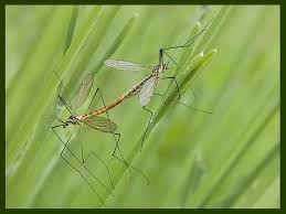 bug mating crane fly flies animal insect animals green bug bugs