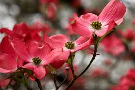 flowering dogwood trees for sale fast growing trees