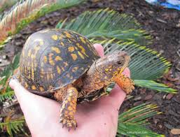 eastern box turtle care sheet