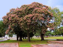 Decorative Trees In India Ceiba Speciosa Wikipedia