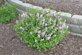 landscaping white lilac bush lowes shrubs dwarf korean lilac