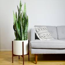 large snake plant in case study planter u2013 welltended