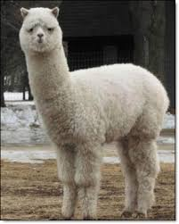 Alpaca Sheep Meme - baidu 10 mythical creatures grass mud horse know your meme