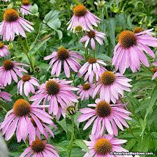 echinacea flower purple coneflower seeds echinacea purpurea american