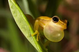 jewels of the forest the fascinating of tree frogs mnn
