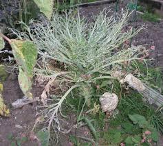 brassica pests u0026 problems allotment u0026 gardens