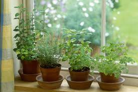 how to overwinter tender herbs indoors