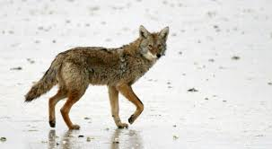 Can Coyotes See Red Light Minn Coyote Hunting Tournament Sparks Conflict Over Its Intent