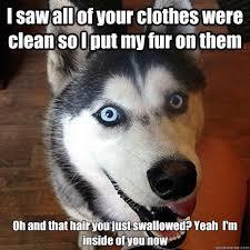 Siberian Husky Meme - 267 best husky images on pinterest husky puppy siberian huskies