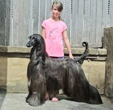 afghan hound walking is this the prettiest dog in the world bored panda