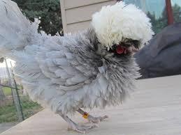 wc blue polish bantam flora u0026 fauna pinterest chicken breeds
