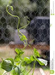 pole bean plant climbing up chicken wire support royalty free