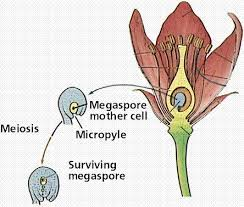 Which Is A Reproductive Cell Flowering Plant Reproduction