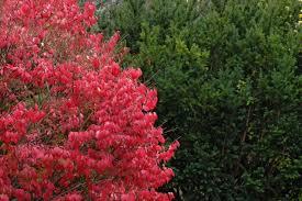 burning bush pretty is as pretty does hgtv