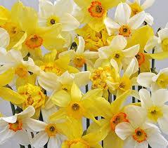 Ideas For Daffodil Varieties Design Heirloom Daffodils White Flower Farm