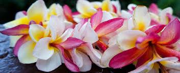 hawaiian leis hawaii greeting airport hawaiian greetings