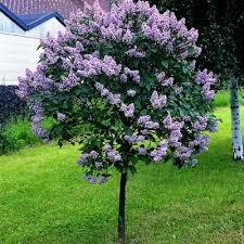 garden design garden design with japanese blueberry trees for
