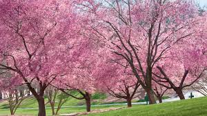 picture of a cherry blossom tree loris decoration