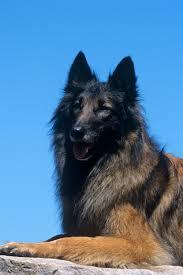 belgian sheepdog gifts top 25 smartest dog breeds most intelligent dog rankings