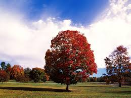 maple tree symbolism a light in the darkness maple tree symbolism