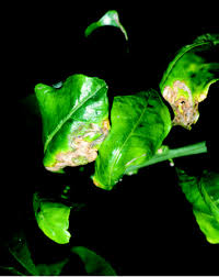 Plant Diseases Wikipedia - citrus canker wikipedia