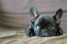 French Bulldog Meme - create meme puppy puppy french bulldog black dog breeds french