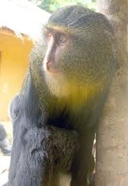 new monkey discovered in the congo u2013 national geographic society