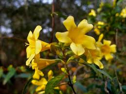Fragrant Jasmine Plant - you can grow fragrant jasmine in the north leslie land in