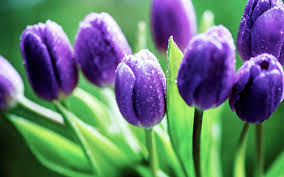 wallpaper bunga tulip purple wet tulips hd desktop wallpaper widescreen high