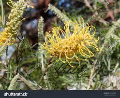 Australian Garden Flowers by West Australian Native Wild Flower Grevillea Stock Photo 147443903