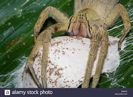 deadly spiders stock photos u0026 deadly spiders stock images alamy