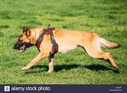belgian malinois dog belgian malinois black stock photos u0026 belgian malinois black stock