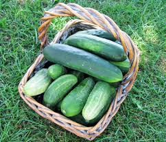 cucumbers plant care and collection of varieties garden org