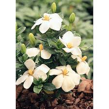 Gardenia Delivery Shop Monrovia 3 58 Gallon White Kleim U0027s Hardy Gardenia Flowering
