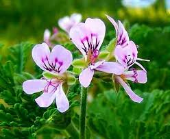 best plant for mosquito repellent 9 best mosquito repellent plants images on pinterest mosquito