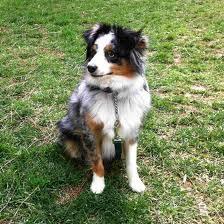 3 month australian shepherd such good dogs breed of the month miniature australian shepherd