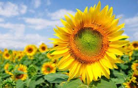 sunflower pictures the best way to grow beautiful and useful sunflowers rodale s