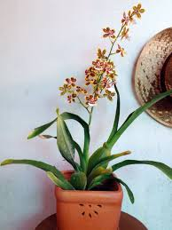 oncidium orchid 11 best oncidium orchids images on lilies orchid and