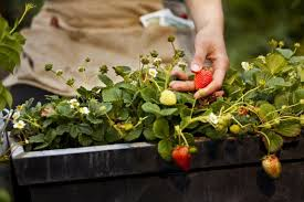 Strawberry Plant Diseases - growing strawberries in the home garden