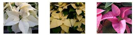 home depot black friday poinsettias the home depot how poinsettias ended up in your home this holiday