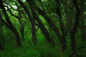 Texas forest images Live oak forest near hill country could soon be sacrificed to JPG
