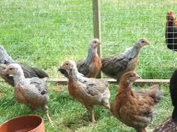 gold duckwing welsummer bellecross hens