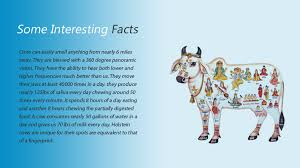 some interesting facts about cows kamdhenu mangal parivar