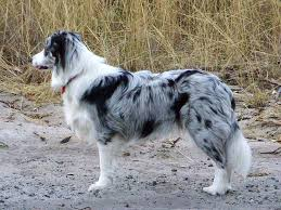 8 month australian shepherd a 8 month old female blue merle border collie named willow photo