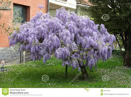 wisteria stock photos royalty free images dreamstime