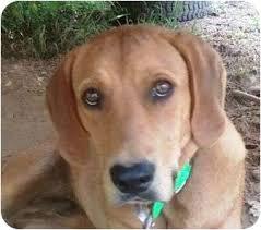 bluetick coonhound nh rusty adopted dog sharp londonderry nh redbone coonhound