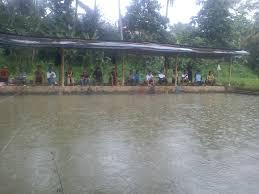 cara membuat umpan mancing ikan mas harian pahami umpan ikan mas harian musim hujan resep umpan ikan paling jitu