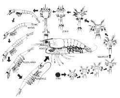 brine shrimp anatomy images learn human anatomy image