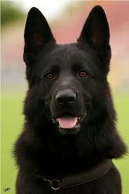 belgian shepherd rescue facebook check me out on